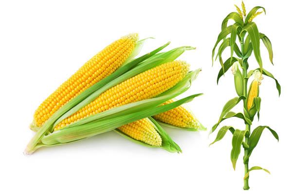 Ăn bắp không tốt bằng ăn cơm hay bánh mì