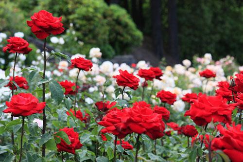 Dùng nước canh dư để tưới cây hoa hồng