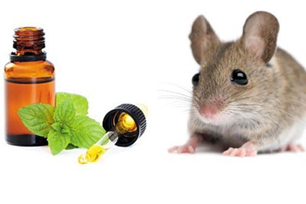 Tinh dầu bạc hà, lá bạc hà tươi hay lá bạc hà khô đều có công dụng đuổi chuột hiệu quả
