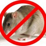 8 mẹo đuổi chuột không cần bả