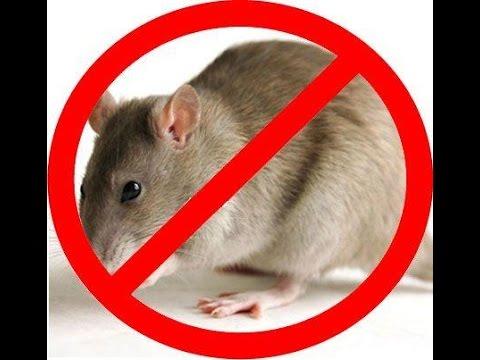 Làm thế nào để đuổi chuột ra khỏi nhà và quay thể quay lại?