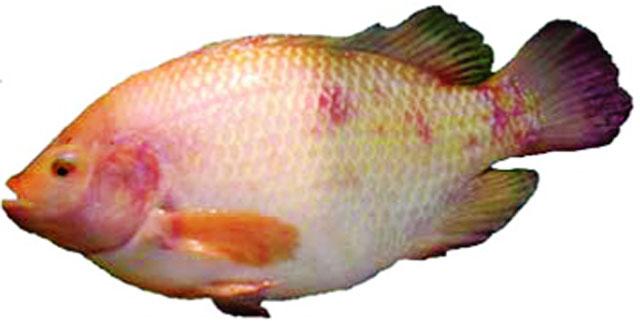 Cá bơi lung tung, không định hướng, lật bụng chìm xuống đáy và chết