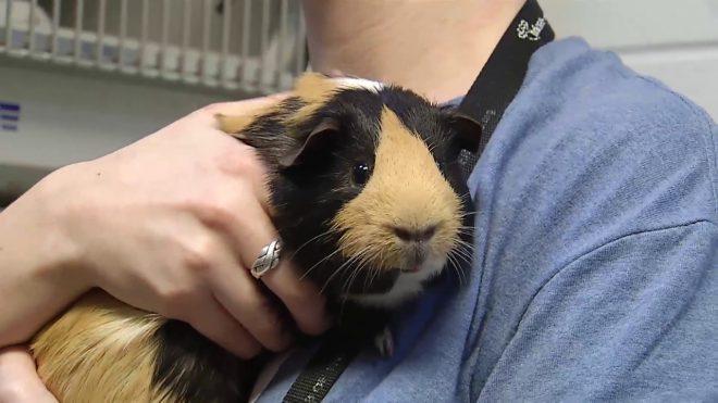 Kết quả hình ảnh cho Guinea pigs pet