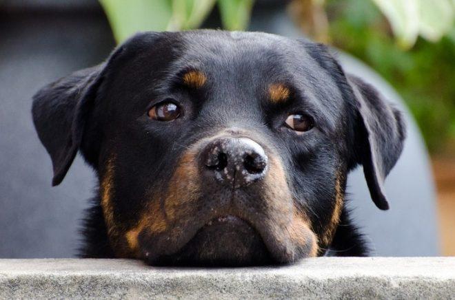 Chó Rottweiler