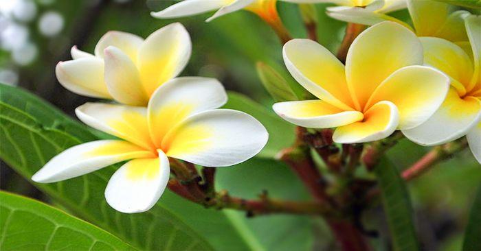 Hoa đại (hoa sứ, chăm pa) được tin rằng là nơi trú ngụ của các hồn ma nên không dùng cho bàn thờ tổ tiên