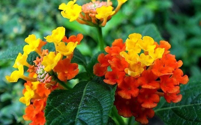 Hoa ngũ sắc (hoa cứt lợn) không phù hợp với chốn thờ phụng trang trọng