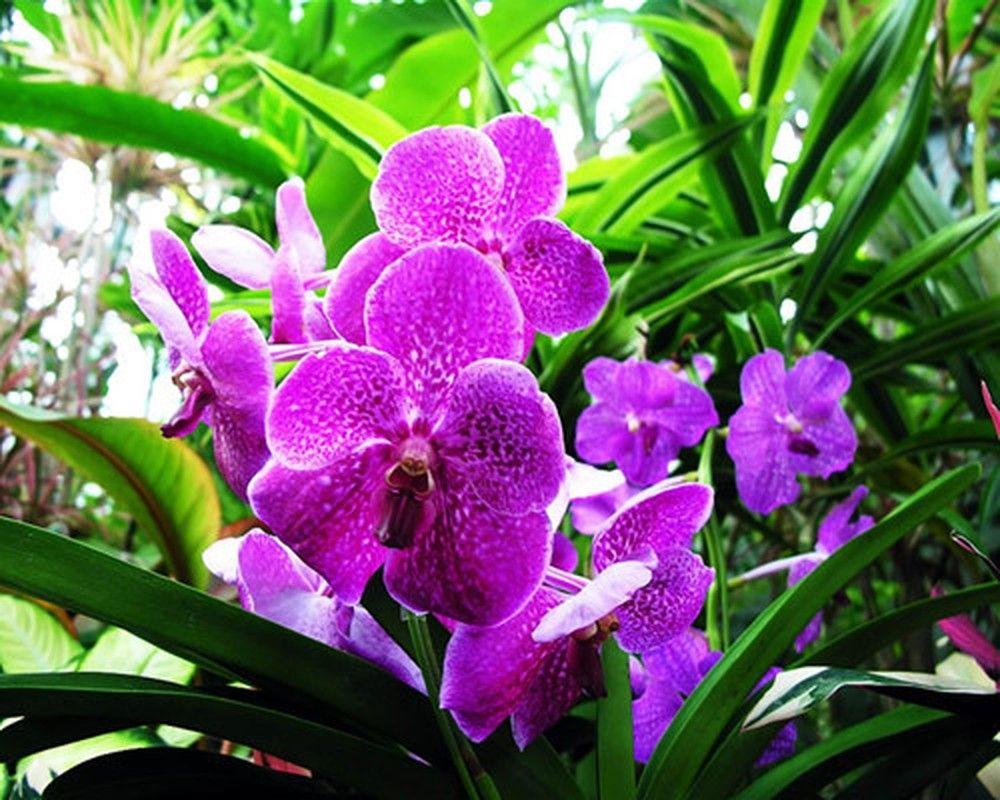 Hoa phong lan phong trần không nên chưng trên bàn thờ