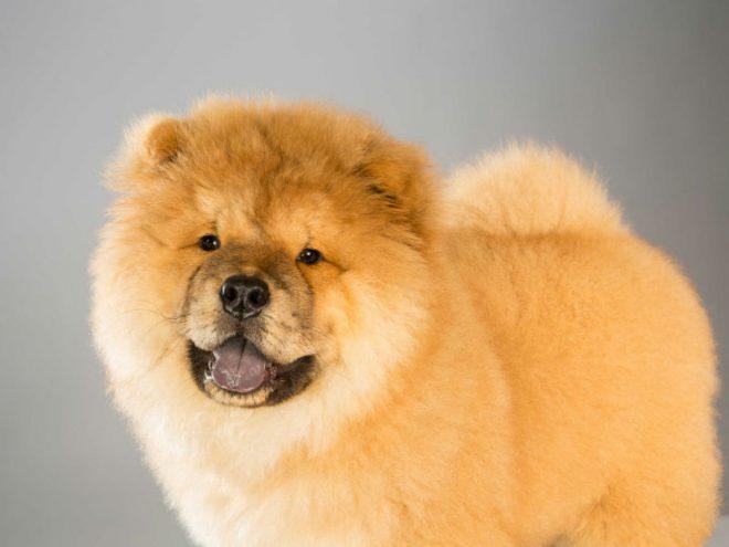 Kết quả hình ảnh cho Chow Chow dogs pet