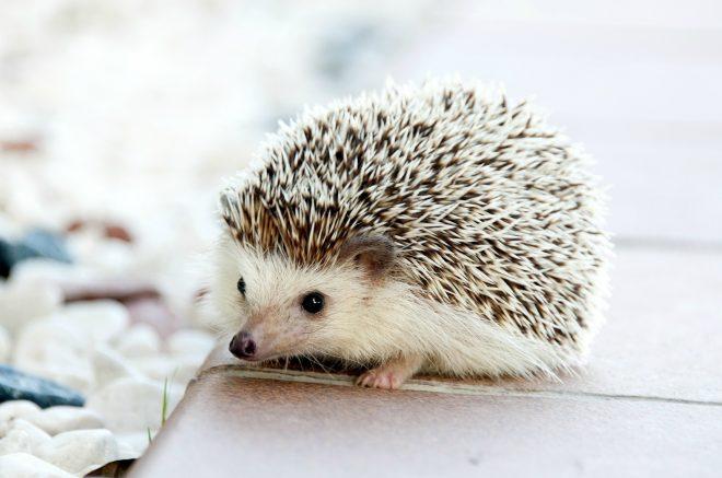 Kết quả hình ảnh cho Hedgehogs pet