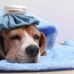 7 Loại bệnh thường gặp ở chó và hướng điều trị giúp chó nhà bạn luôn được khỏe mạnh