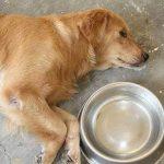 Bệnh thường gặp ở chó và cánh chữa trị, phòng bệnh hiệu quả