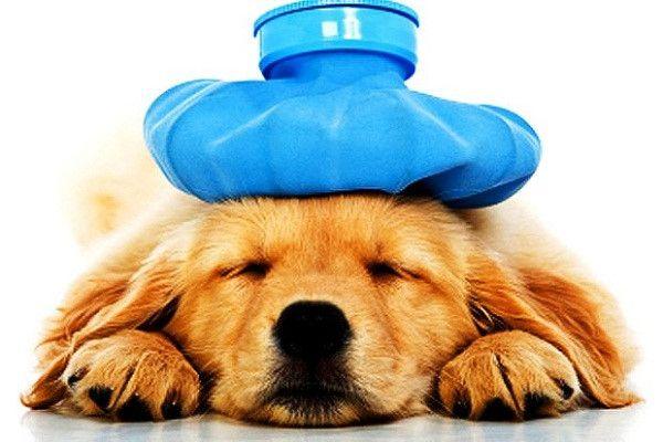 Chó con bị bệnh