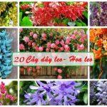 Tổng hợp 20 loại dây leo, hoa leo tường mang không gian xanh mát cho ngôi nhà