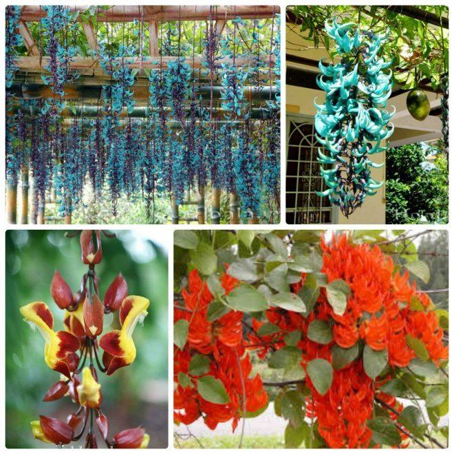 Hoa leo - hoa móng cọp với chùm hoa lạ mắt, dài và màu sắc rực rỡ , đây là giống cây hoa đẹp và quý tại Việt Nam được nhiều người yêu thích
