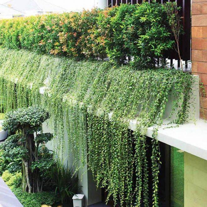 Bức tường dây leo xanh biếc bao phủ xung quanh bề mặt tòa nhà với vẻ đẹp độc đáo mang lại nhiều tác dụng , chống nóng, bảo vệ sơn tường,