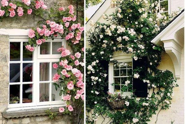 Hoa leo - Hoa hồng leo rực rỡ màu sắc che phủ nơi cửa sổ xua tan những ánh nắng gay gắt của mùa hè