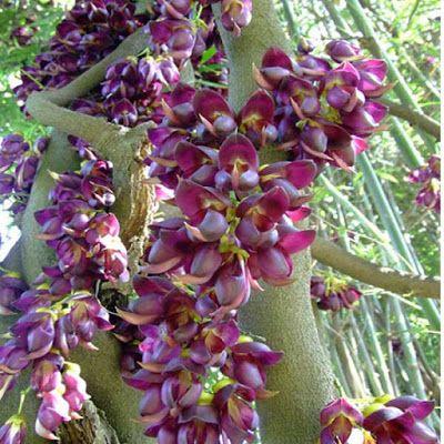 Hoa leo Huyết Long ấn tượng với chùm hoa to , dài màu sắc và hình dáng lạ mắt