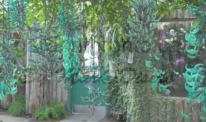 Giàn hoa leo móng cọp trước cổng nhà xanh biếc với những chùm hoa dài độc đáo và đặc sắc