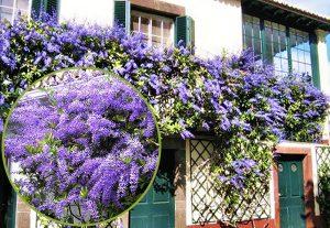 Giàn hoa leo , hoa mai xanh bao phủ che mát cho mặt tường trước cửa ra vào và ban công như một cổng trào lớn nhiều màu sắc