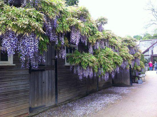 Giàn hoa leo -  hoa mai xanh bao phủ bức tường rào đứng đầy lãng mạn