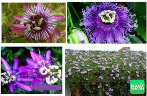 Bông hoa leo - hoa hoàng liên với sắc tím nổi bật xòe rộng như chiếc nón của những nữ dân ca quan họ bắc ninh