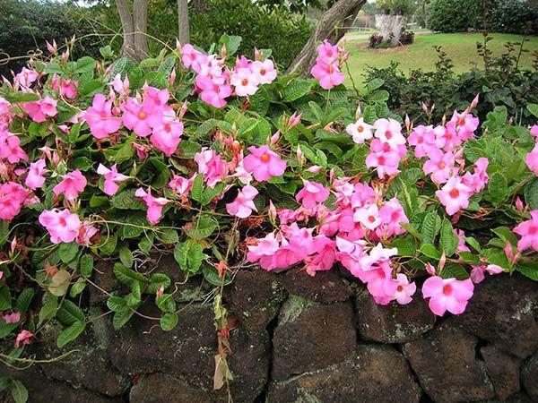 Dáng hoa không quá mới mẻ nhưng hoa leo hoa hồng anh lại có sự kết hợp hài hòa giữa sắc lá và màu hoa , với dấng leo mềm mại uyển chuyển được nhiều người dân Việt Nam trồng