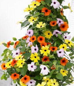 Hoa leo mắt huyền đặc sắc với sắc hoa vàng và nhụy nâu đen nổi bật , hoa phát triển quanh năm, sức sống, sức leo khỏe