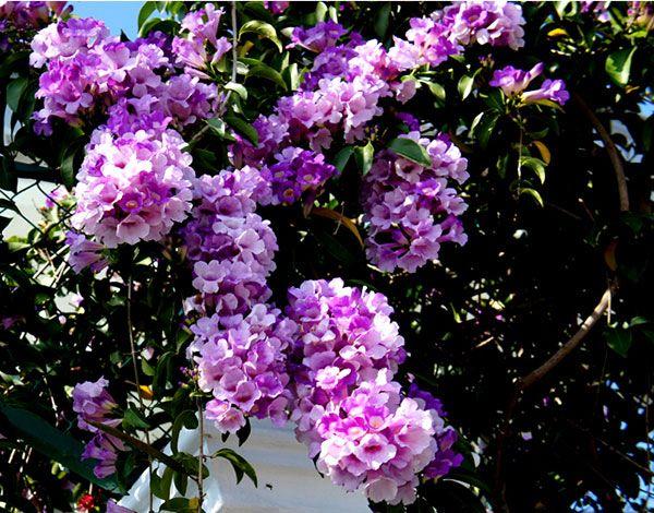 Hoa leo hoa lý tỏi nổi bật với sắc tím sáng , và chùm hoa dài , hoa sai , trồng che mát hàng rào, ban công , mái hiên