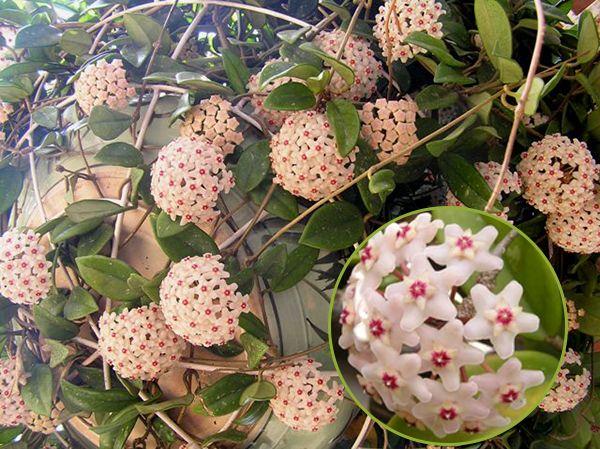 Tuy không nhiều lá, mức độ bao phủ không lớn như những giống hoa khác nhưng dáng hoa đẹp ấn tượng với chùm hoa sao
