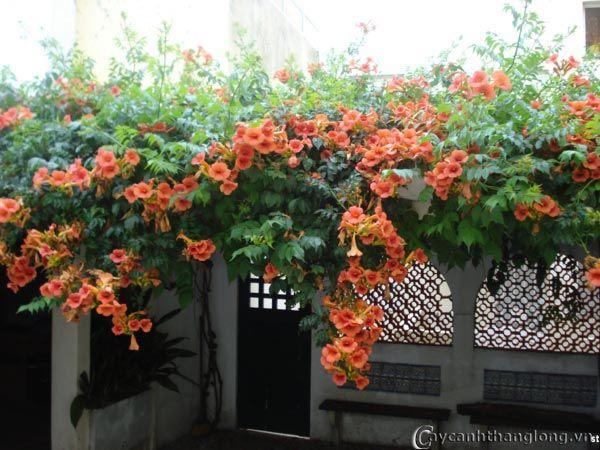 Hoa leo đăng tiêu là mẫu hoa leo được trồng phổ biến nhất bởi sức bao phủ không gian rộng lớn, dễ trồng và chăm sóc