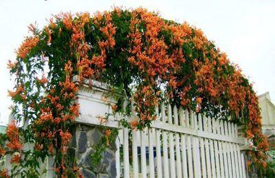 Giàn hoa leo hoa chùm ớt  rạng đông bao phủ che mát nơi cửa sổ và mặt tường