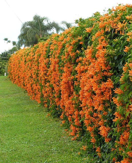 Hàng rào Hoa leo chùm ớt rạng đông trải dài bao quanh căn nhà ấn tượng