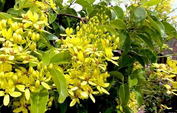 Hoa leo hoa mai hoàng yến độc đáo với những chùm hoa vàng vươn thẳng khác biệt so với những dòng hoa leo rủ khác