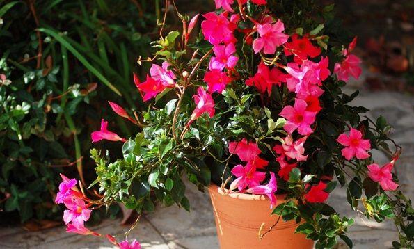 Giàn hoa leo hoa đài trang mềm mại nơi cửa sổ đầy nắng và nổi bật với sắc hoa đỏ tươi sáng