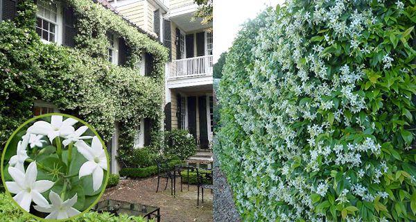 Giàn hoa nhài leo xanh biếc bao phủ trước hiên nhà tô điểm những bông hoa trắng nhỏ nhắn xinh xắn với hương thơm dịu ngọt