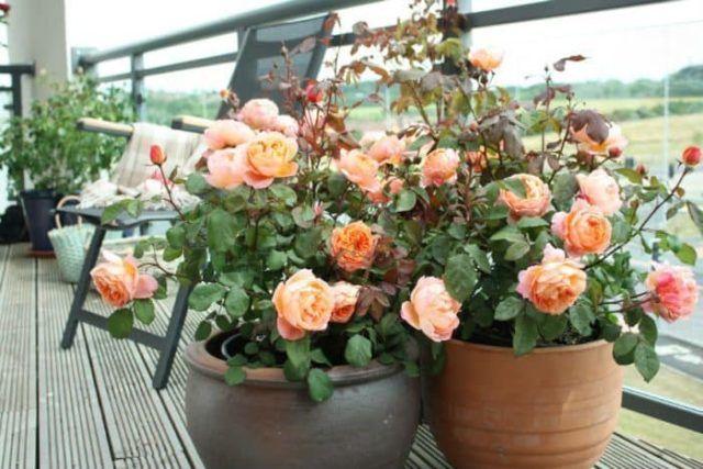 hoa hồng luôn là sự lựa chọn hàng đầu để trồng trong chậu