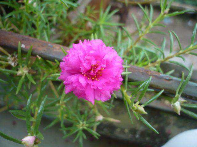 hoa mười giờ cũng là lựa chọn thích hợp để trồng trong chậu