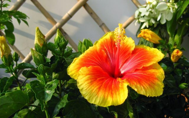 hoa dâm bụt được khá nhiều người lựa chọn để trồng trong chậu