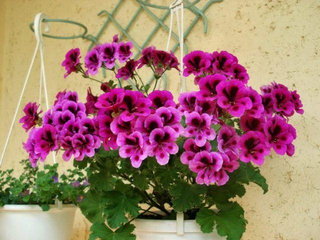 hoa phong lữ thảo rất phù hợp để trồng trong chậu nhỏ