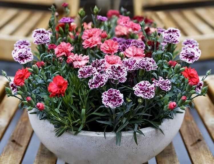 hoa cẩm chướng có nhiều màu sắc rất đẹp mắt