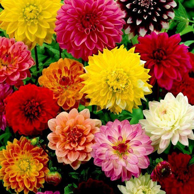 Hoa Thược Dược