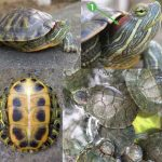 Các loại rùa nước ngọt được nuôi nhiều nhất tại việt nam
