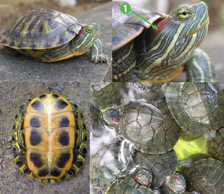Bạn có thể dễ dàng nhận biết được rùa tai đỏ thông qua vệt màu đỏ ngay dưới tai