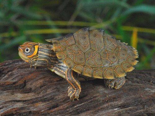 Rùa bản đồ- Map turtle
