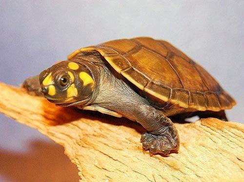Rùa Ninja