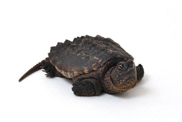 Rùa cá sấu cảnh