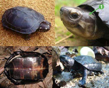 Rùa cổ bự
