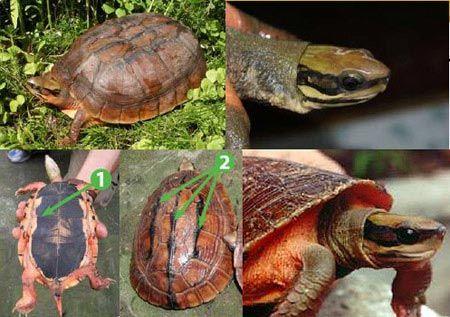 Rùa hộp 3 vạch