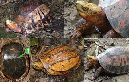 Rùa hộp trán vàng miền bắc