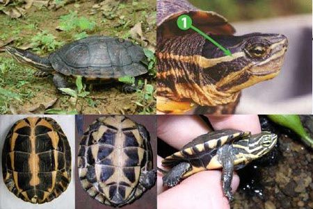 Rùa trung bộ